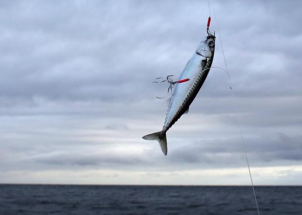 Image result for mackerel on line
